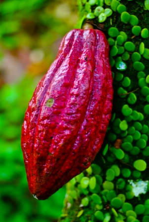 Cocoa fruit in the tree. Cocoa pods in the tree,