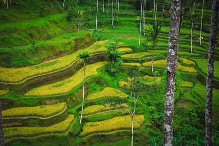 Bali Indonesia. Green rice fields Bali island photo
