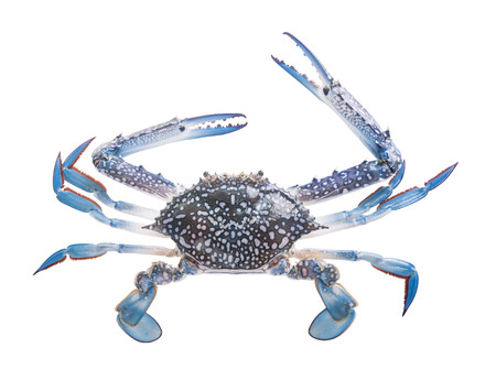 blue crab: Crabs isolated in white  Stock Photo