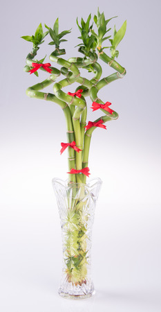 bamboo plant or lucky bamboo on a background