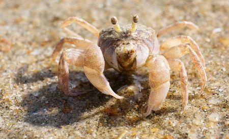fiddler: Macro of a Fiddler Crab