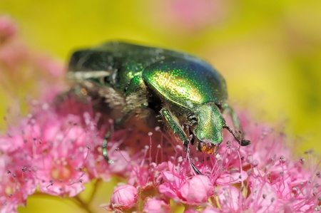 Rose chafer on flowers of Spirea photo