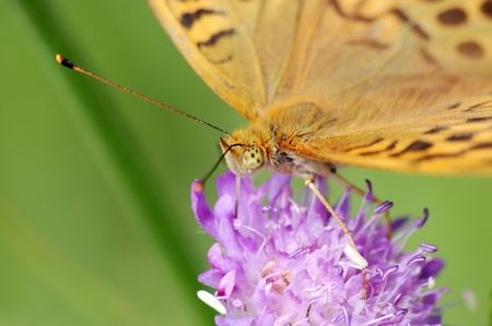 Silver-washed fritillary on a flower of  field scabious