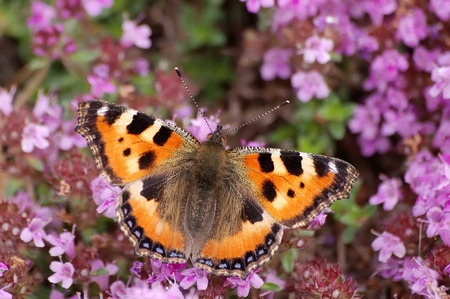 Small tortoiseshell butterfly on flowers of heather photo