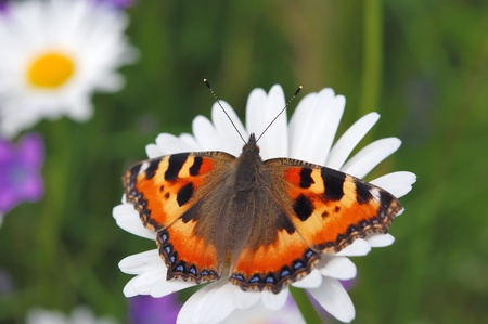 nymphalis: Small tortoiseshell butterfly on flower of daisy