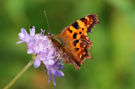 Comma Butterfly on a flower of  field scabious Stock Photo