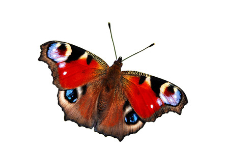 Peacock butterfly (inachis io) in warm-up position