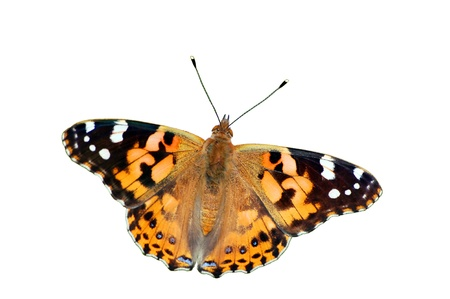 Painted Lady Butterfly Stockfoto