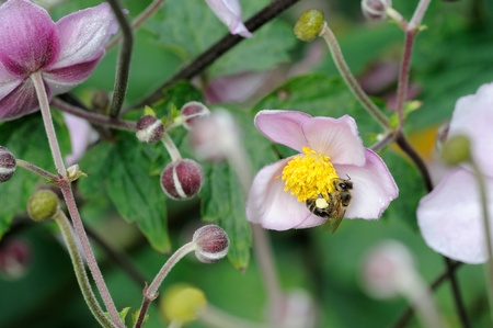 Honeybee feeding on flowers of japanese anemone. Stock Photo - 10483148