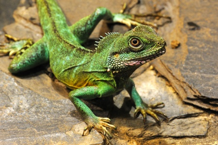 The plumed basilisk, Basiliscus plumifrons, also called a green basilisk or double crested basilisk and Jesus Christ Lizard.
