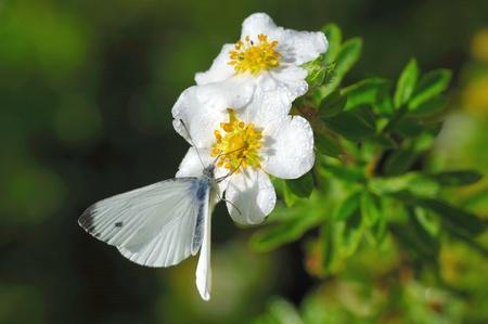 Small white (Pieris rapae) feeding on flowers of bush cinquefoil (Potentilla fruticosa)