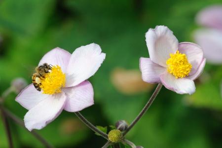 Honeybee feeding on flowers of japanese anemone. Stock Photo - 10483146