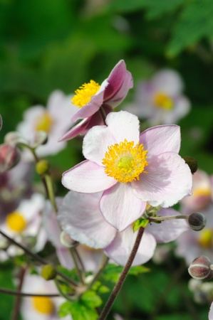Japanese anemone flowers, blooming in the beginning of September.