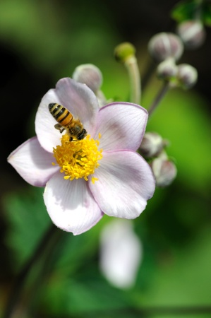 Honeybee feeding on flowers of japanese anemone. photo