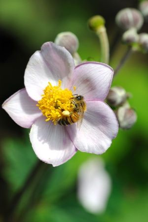 Honeybee feeding on flowers of japanese anemone. Stock Photo - 10483137