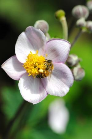 Honeybee feeding on flowers of japanese anemone. Stock Photo