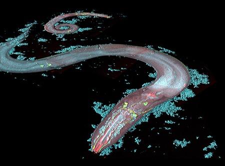 Nematode (Caenorhabditis elegans). LM, fluorescence microscopy, confocal laser scanning.