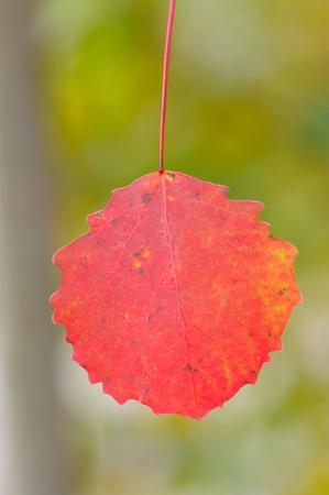 aspen leaf: A red aspen leaf, September, before first cold night