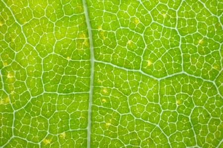 Maple leaf as seen through microscope