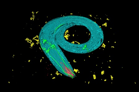 Caenorhabditis elegans, a free-living, transparent nematode (roundworm), about 1 mm in length. Green: neurons; red: digestive tract; yellow: bacteria.