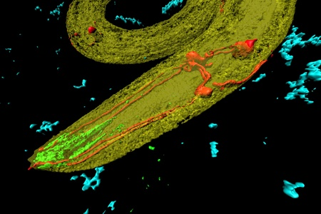 Caenorhabditis elegans, a free-living, transparent nematode (roundworm), about 1 mm in length. Red: neurons; green: digestive tract; blue: bacteria. photo