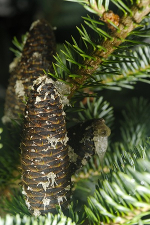 pinaceae: Firs  Abies  are a genus of 48�55 species of evergreen conifers in the family Pinaceae  They are found through much of North and Central America, Europe, Asia, and North Africa, occurring in mountains over most of the range