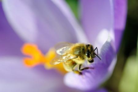 Honey bee on spring crocus flower Stock Photo