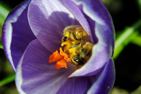 Honey bee on spring crocus flower photo