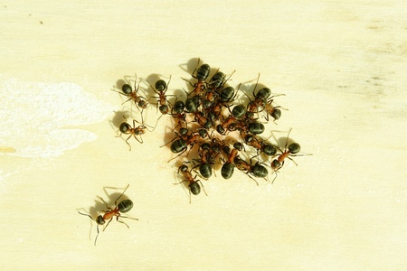 insecta: Ants are having a sweet meal Stock Photo