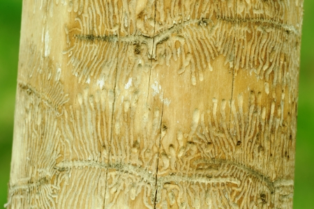 Tunneling by Ips beetles in maple tree photo