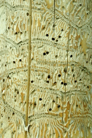 tunneling: Tunneling by Ips beetles in maple tree