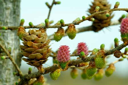 ovulate: Pollen cones and ovulate cones of larch tree