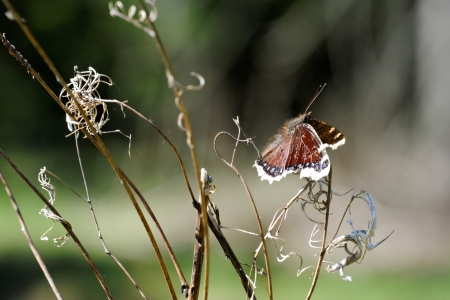 Old, broken, and ugly Camberwell Beauty butterfly photo