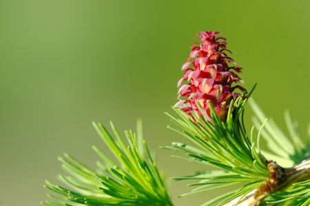 Ovulate cone of larch tree, spring, May