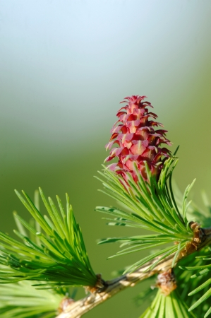 ovulate: Ovulate cone of larch tree, spring, May