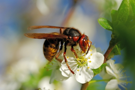 Wasp collecting nectar and pollen on cherry flowers photo