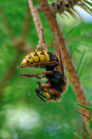 Wasp on spruce tree having dinner of nectar and pollen from cherry flowers photo