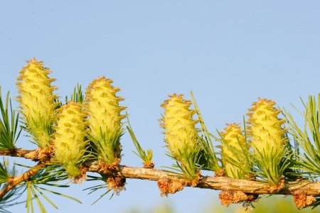 ovulate: Ovulate cones of larch tree, spring, May