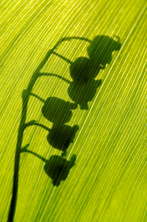 Shadows of the flowers of Lily of the Valley photo