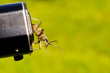 longhorn beetle: Longhorn beetle preparing for take-off from photographer