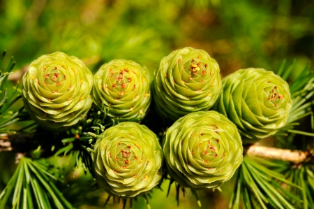 ovulate: Ovulate cones of larch tree
