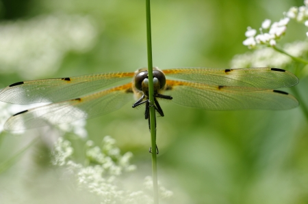 chaser: Four-spotted Chaser  Four-spotted Skimmer, Libellula quadrimaculata