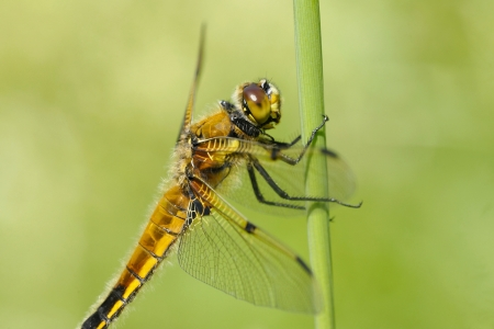 libellula: Four-spotted Chaser  Four-spotted Skimmer, Libellula quadrimaculata