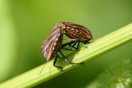 copulate: Shield bugs  striped-bugs, minstrel bugs , preparing to copulate Stock Photo