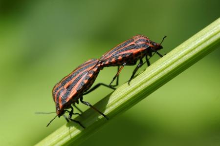 Copulating shield bugs  striped-bugs, minstrel bugs   photo