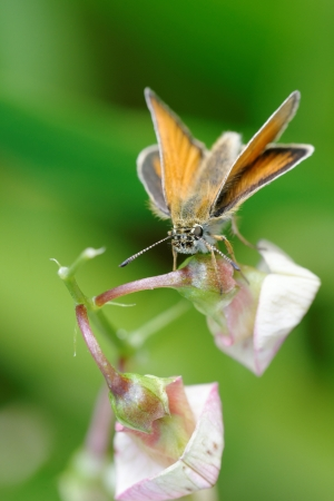 skipper: The Essex Skipper  Thymelicus lineola  is a butterfly of the Hesperiidae family  Stock Photo