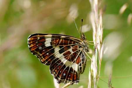 Map is the only species in Europe with strongly marked seasonal differences  The spring and summer broods are very different  This is a summer specimen which looks a little like a small version of a white admiral