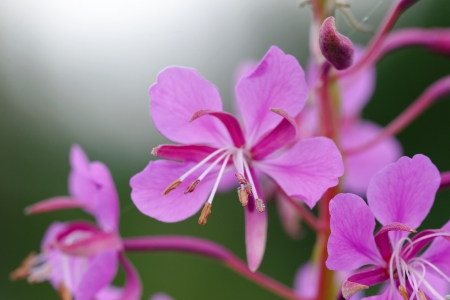 Willowherb (Epilobium) is a genus in the family Onagraceae, containing about 160-200 species of flowering plants with a worldwide distribution.