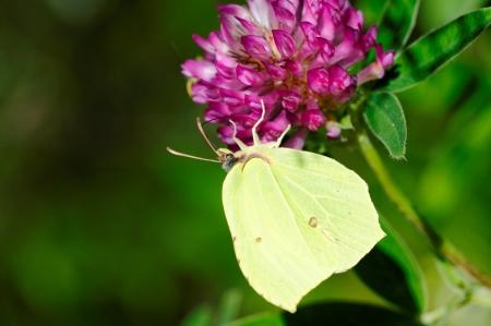 gonepteryx: Brimstone butterfly (Gonepteryx rhamni) on clover flower Stock Photo
