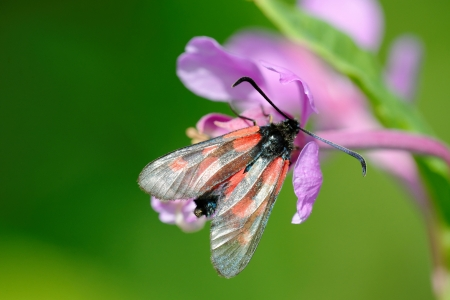 The Narrow-Bordered Five-Spot Burnet on a Willowherb flower photo